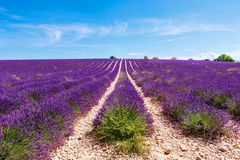 Blooming lavender fields near Valensole in Provence, France. Stock Images