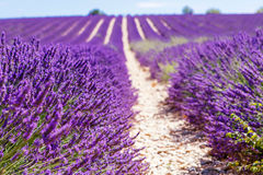 Blooming lavender fields near Valensole in Provence, France. Stock Photography