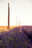 Blooming lavender fields at sunset Stock Image