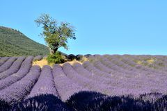 Blooming lavender fields , with a tree on the left,. And a mountain in the background. In Drôme Provencale, Provence in France royalty free stock photography