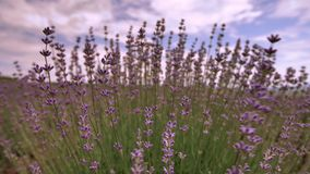 Blooming lavender flower close up in a field in Provence France against a blue sky and clouds background