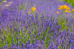 Blooming Lavender flower . Royalty Free Stock Images