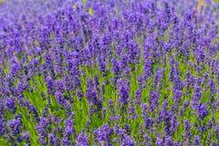Blooming Lavender flower . Royalty Free Stock Image
