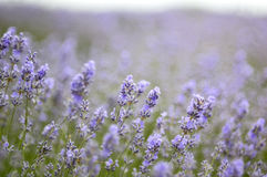 Blooming Lavender Flowers In Spring Time Royalty Free Stock Images