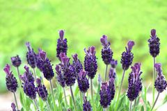 Blooming lavender in front of green background. Blooming lavender plant in front of green background, close-up with copy space royalty free stock photography