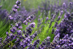 Blooming lavender garden Royalty Free Stock Photo