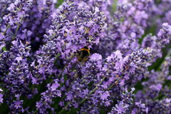 Blooming lavender garden Stock Photos