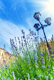 Blooming lavender growing near streetlight Royalty Free Stock Photo