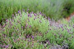 Blooming lavender plants at the Alii Kula Lavender Farm on Maui Stock Photo