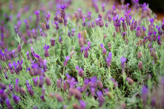 Blooming lavender plants at the Alii Kula Lavender Farm on Maui Royalty Free Stock Images