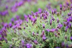 Blooming lavender plants at the Alii Kula Lavender Farm on Maui Stock Photos
