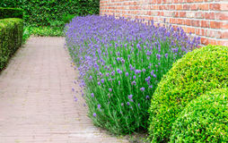 Blooming Lavender plants in garden. Border with flowering lavender plants against a wall in a garden Stock Photo