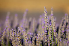 Blooming lavender in Provence, France Royalty Free Stock Image
