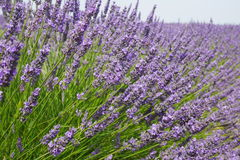 Blooming Lavender Royalty Free Stock Photo