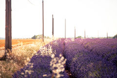 Blooming lavender rows at sunset, summer, Valensole, France Royalty Free Stock Images