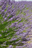 Blooming Lavender in Valensole, france Royalty Free Stock Photos