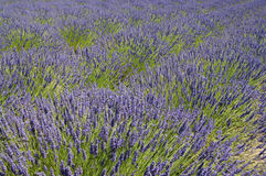 Blooming lavenders field Royalty Free Stock Photos