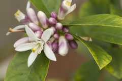 Blooming Lemon Tree. Flowers blooming on a lemon tree in white and pink Royalty Free Stock Photo