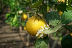 Blooming lemon tree with yellow fruits in the greenhouse stock photo