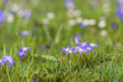 Blooming lesser glory-of-the-snow bulbs in the early spring seas Royalty Free Stock Photo