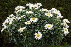 Leucanthemum flowers Stock Photography