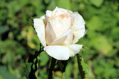 Blooming light beige rose Stock Images