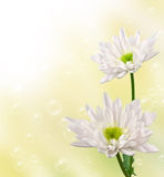 Blooming light pink chrysanthemums Royalty Free Stock Image