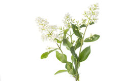 Blooming Ligustrum shrub on white background Royalty Free Stock Image