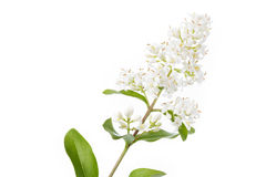 Blooming Ligustrum shrub on white background Royalty Free Stock Images