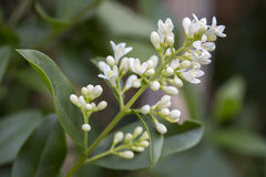 Blooming Ligustrum Vulgare Royalty Free Stock Image