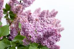 Blooming lilac. Abstract background - blooming purple lilac Royalty Free Stock Images