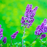 Blooming lilac Stock Photo