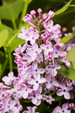 Blooming lilac Stock Image