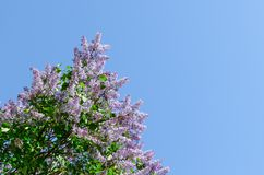 Blooming lilac against the blue sky. the awakening of nature. spring concept. copy space royalty free stock photos
