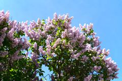 Blooming lilac against the blue sky. On spring day stock photo