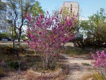 Blooming lilac in Aktau. Stock Photo