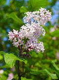 Blooming lilac on blue sky. Blooming lilac in may on blue sky Royalty Free Stock Image