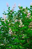 Blooming lilac on blue sky. Blooming lilac in may on blue sky Stock Image