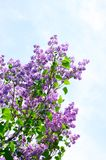 Blooming lilac Stock Images