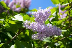 Blooming lilac with a blurred background close-up on a background of green leaves. And blue sky royalty free stock images