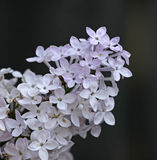 Blooming Lilac Branch Stock Photo