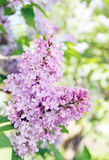 Blooming lilac branch Stock Image