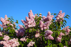 Blooming lilac branches Stock Photos