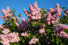 Blooming lilac branches Royalty Free Stock Photo