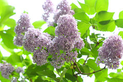 Blooming lilac bush Royalty Free Stock Photo