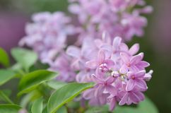 Blooming lilac bush Royalty Free Stock Photography