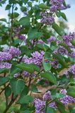 Blooming lilac Bush against blue sky. Blooming lilac Bush against the blue sky stock photos