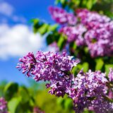 Blooming lilac bush on a background of blue clear sky on a sunny day