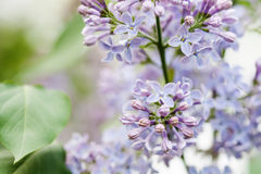 Blooming lilac bush. Flower petals macro view. soft focus, shallow depth of field Royalty Free Stock Photography