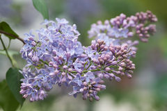Blooming lilac bush. Flower petals macro view. soft focus, shallow depth of field Royalty Free Stock Photos